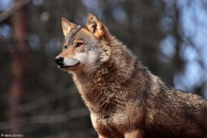 close-up of gray wolf Canis lupus