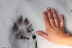 wolf footprint with human hand on Menišija plateau in northern D