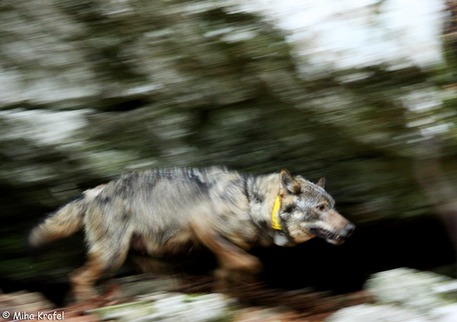 radiocollared female gray wolf Canis lupus in Dinaric Mountains