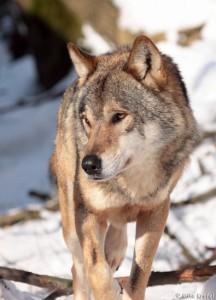 wolf_20100727_1093871996