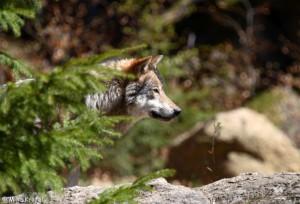 wolf_20100727_1103280965