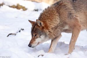 wolf_20100727_1435588922