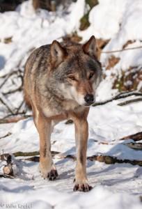 wolf_20100727_1798633463