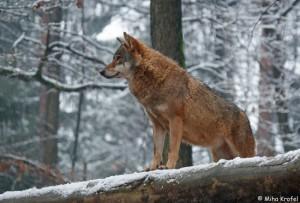 wolf_20100727_1803295641