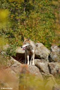 wolf_20100727_1892627556